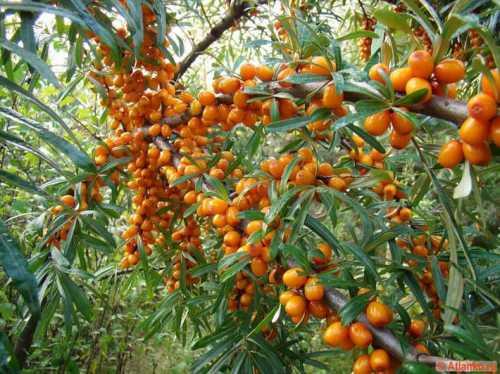 ягоды годжи: как принимать, свойства, применение, рецепты